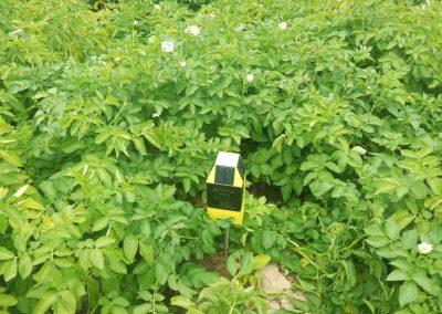 Sensor nawodnienia gleby na uprawie ziemniaka